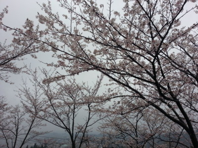 上床運動公園の桜